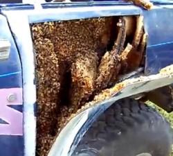 imagen Miles de abejas invaden su vehículo