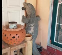 imagen Lagarto gigante pretende entrar en su casa