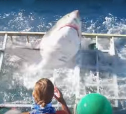 imagen Un tiburón blanco se cuela en una jaula con personas